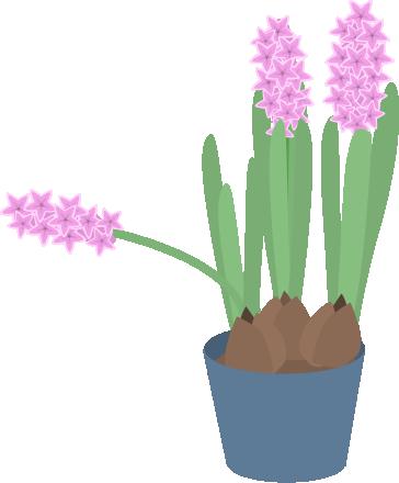 花が斜めになったヒヤシンス
