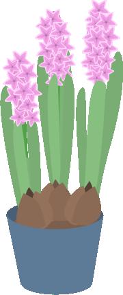 ヒヤシンスが咲く